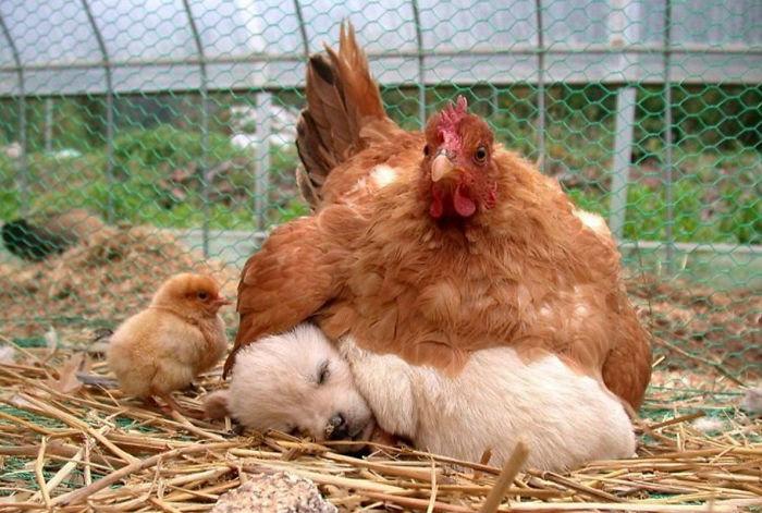 Курицы, самые заботливые, приемные мамы