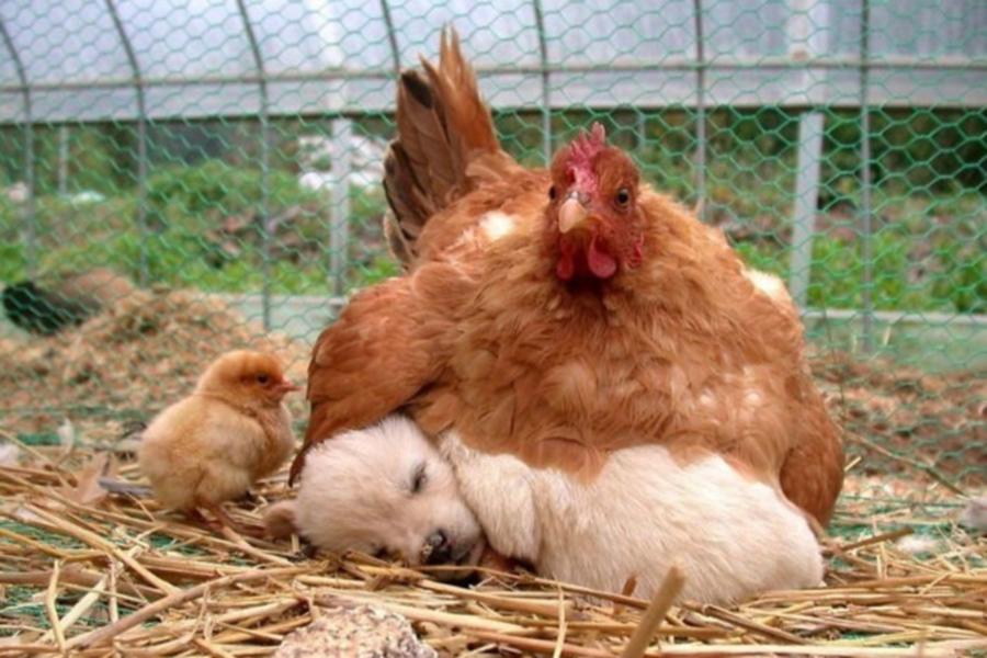Курицы, самые заботливые приемные мамы